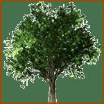 Avellano - Árboles celtas