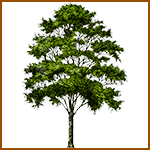 Castaño - Árboles celtas