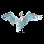Cisne - Animales del Horóscopo celta