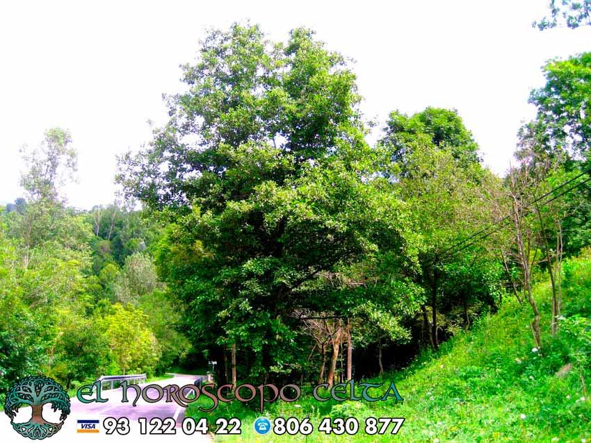 El Aliso - tu árbol celta