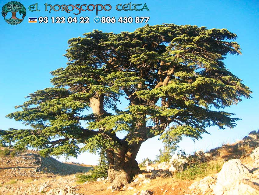 El Cedro - tu árbol celta