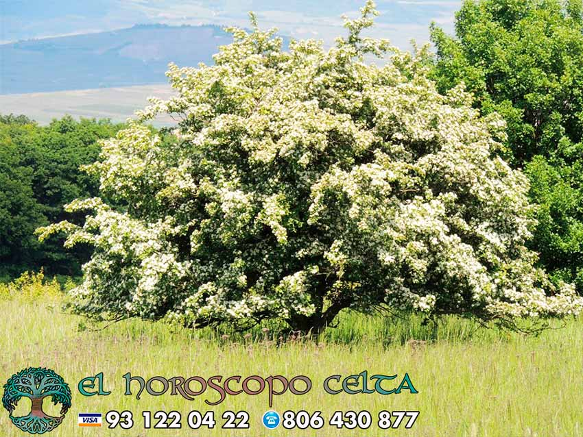 El Espino Blanco - tu árbol celta