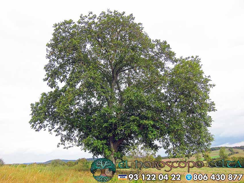 El Nogal - tu árbol celta