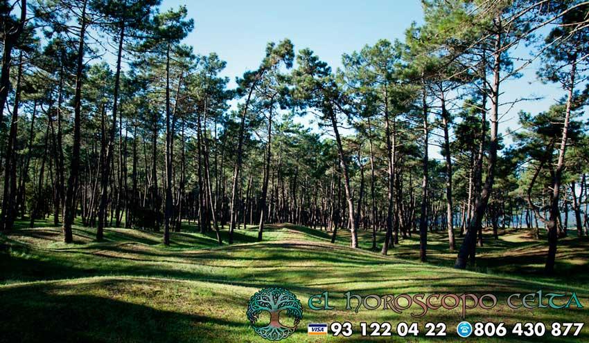 El Pino - tu árbol celta