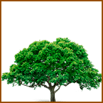 Espino Blanco- Árboles celtas
