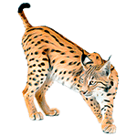 Gato - Animales del Horóscopo Celta 150x150