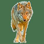 Lobo - Animales del Horóscopo celta