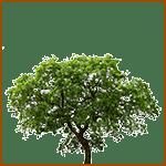 Manzano - Árboles celtas