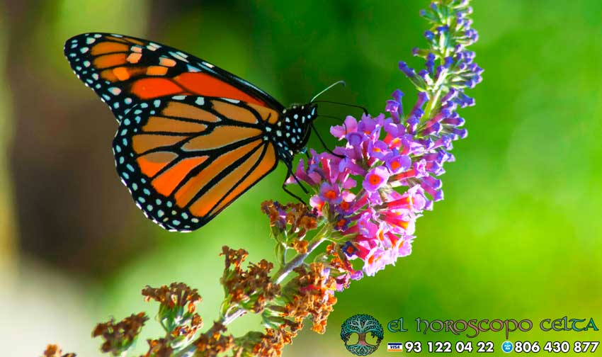 Mariposa - tu animal del Horóscopo Celta