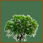 Olivo - Árboles celtas