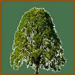 Roble - Árboles celtas