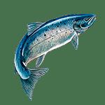 Salmón - Animales del Horoscopo Celta 150x150
