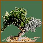 Vid- Árboles celtas